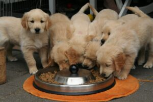 picture of golden retriever puppies eating dog biscuits out of a bowl